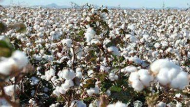 """Photo of بالفيديو…""""الزراعة"""" تكشف أسباب انخفاض أسعار القطن"""