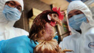 Photo of الحكومة تنفى ظهور سلالة جديدة من أنفلونزا الطيور في مصر