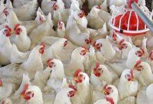 Photo of ننشر أسعار الدواجن اليوم …البيض الأبيض بـ 47 جنيها للكرتونة في المزرعة